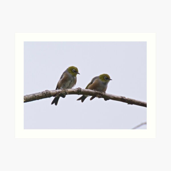 SILVEREYE ~ Grey-backed Silvereye by David Irwin Art Print
