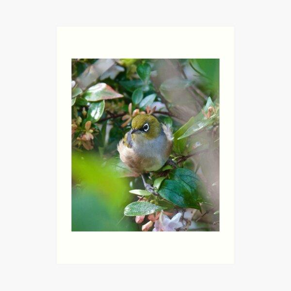SILVEREYE ~ Grey-backed Silvereye ggLqq6aP by David irwin ~ WO Art Print