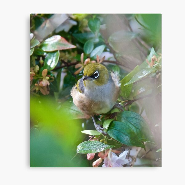 SILVEREYE ~ Grey-backed Silvereye by David irwin ~ WO Metal Print