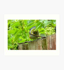 Who Goes There! - Silvereye/Wax Eye NZ Art Print