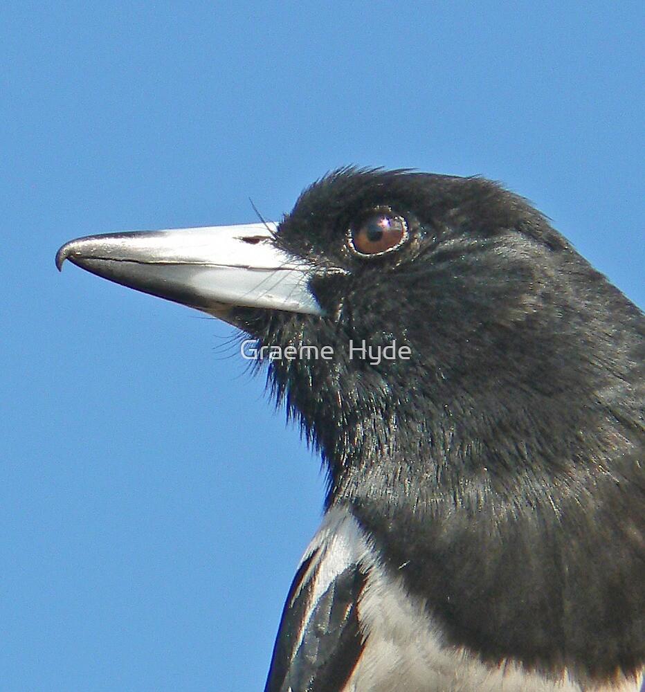 Our Friend Butch - the Pied Butcherbird by Graeme  Hyde