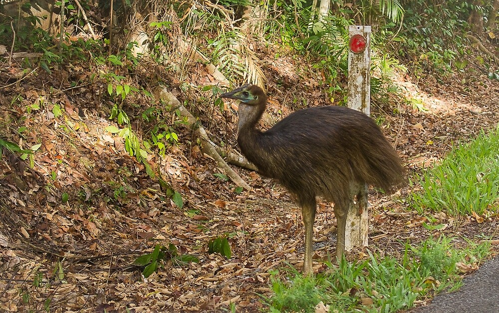 juvenile cassowary by col hellmuth