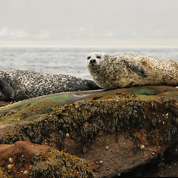 Common Seals at Rest by TheDabber