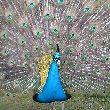 Peacock by hilarydougill