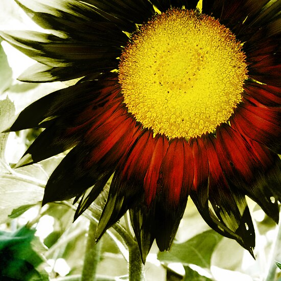 sunflower by brian gregory