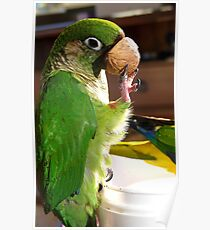 Is This A Good Muzzel! - Bubbles - Maroon-Bellied Conure - NZ Poster