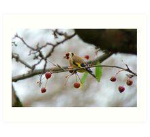 Desperate Measures! - Goldfinch Eating Berries - NZ Southland Art Print