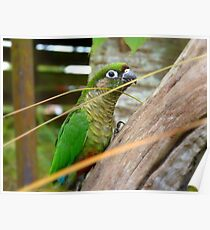 Wild Thing, You Make My Heart Sing! Maroon-Bellied Conure - NZ Poster
