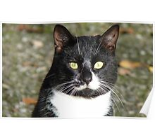 Look  Into My Eyes - Black & White Cat - NZ Poster
