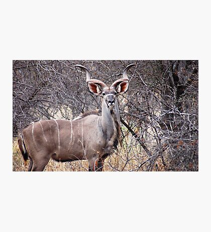 """KUDU"" Photographic Print"