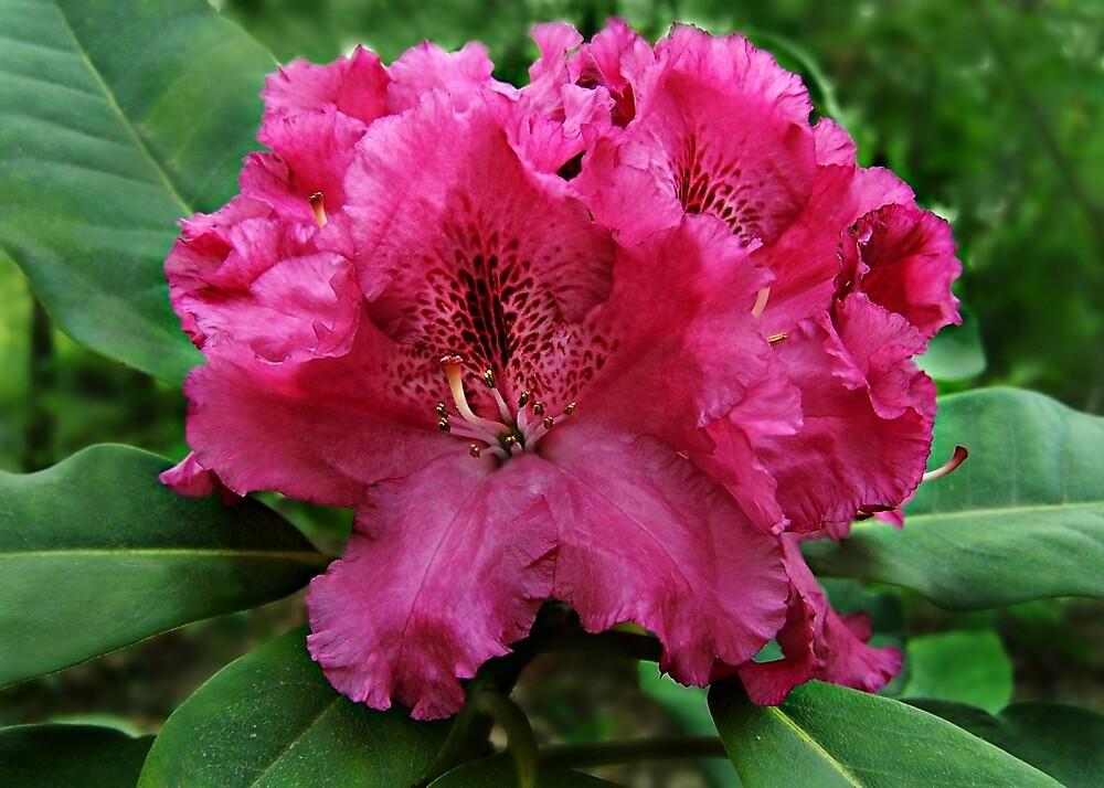 Rhododendron 'Bessie Howells' by William Tanneberger