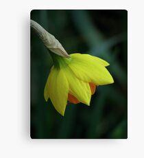 Daffodil 03 Canvas Print