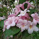 Abelia grandiflora by Ana Belaj