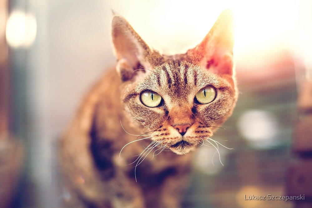 Devon Rex purebred domestic cat looking at camera by Lukasz Szczepanski