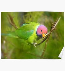 Did You Know I'm A Plum Head?!! - Plum-Headed Parakeet -NZ Dunedin Poster