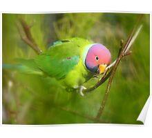 Did You Know I'm A Plum Head?!! - Plum-Headed Parakeet -NZ Dunedin Poster