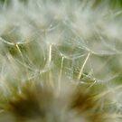 Dandelion Close Up by farmbrough