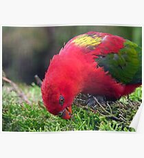 I Love Eating My Greens! - Chattering Lory - Otago NZ Poster