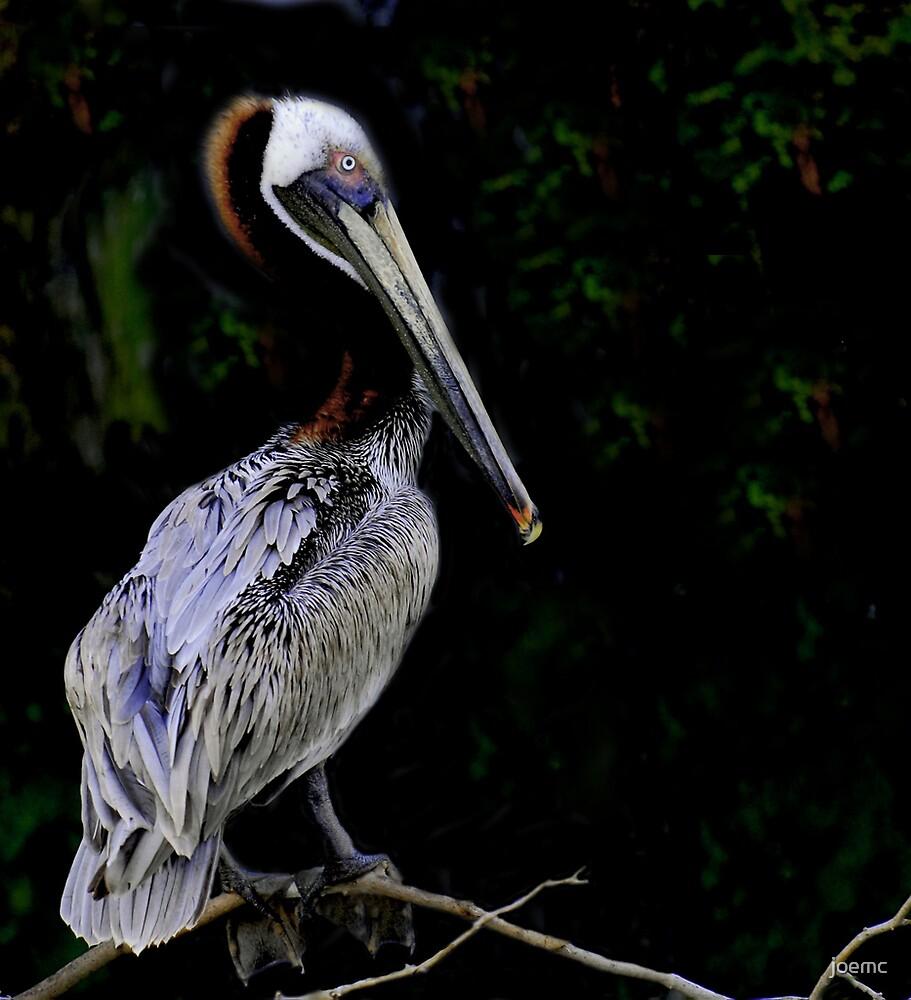 Portrait of a pelican by joemc