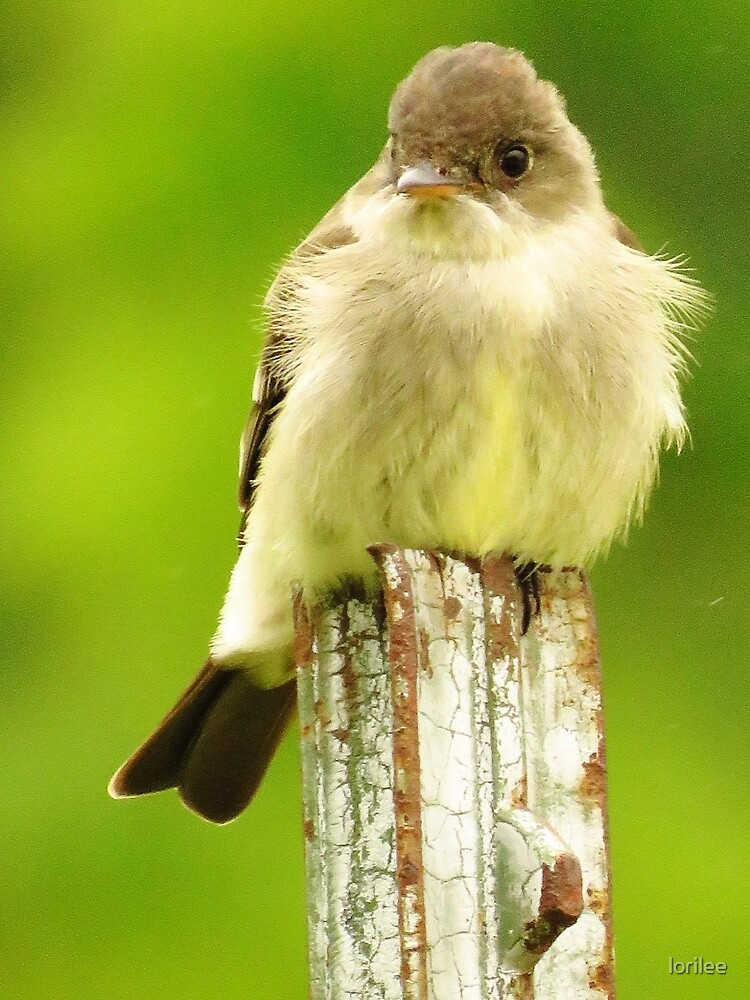 Eastern Phoebe on a Post by lorilee