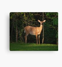 White Tailed Deer Outdoors Canvas Print