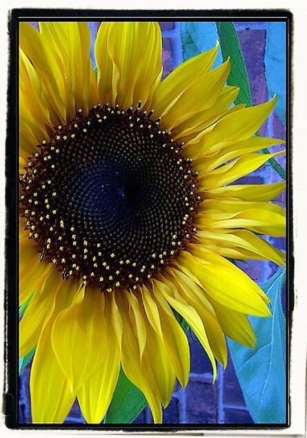 Sunflower by Photoflirt