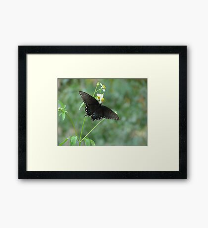 Tiger Swallowtail in Bidens alba Framed Print