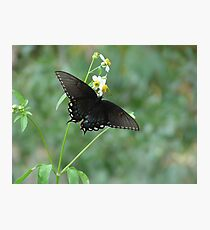 Tiger Swallowtail in Bidens alba Photographic Print