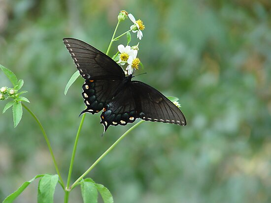 Tiger Swallowtail in Bidens alba by May Lattanzio