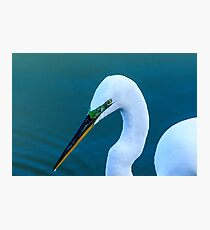 Great Egret with Mating Season Plumage Photographic Print