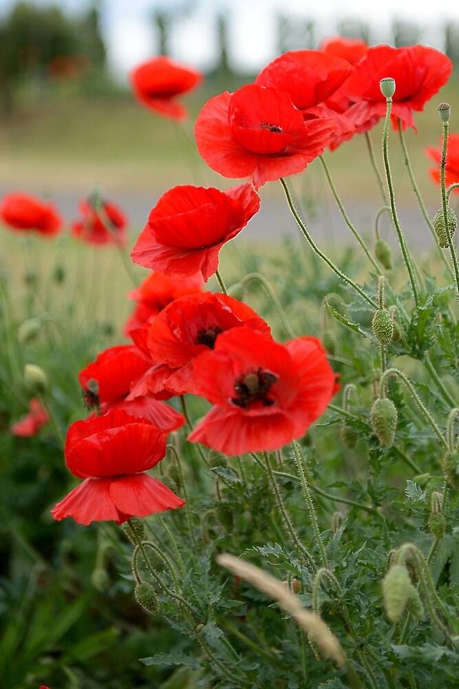 Poppies to remember by PhotosbySylvia