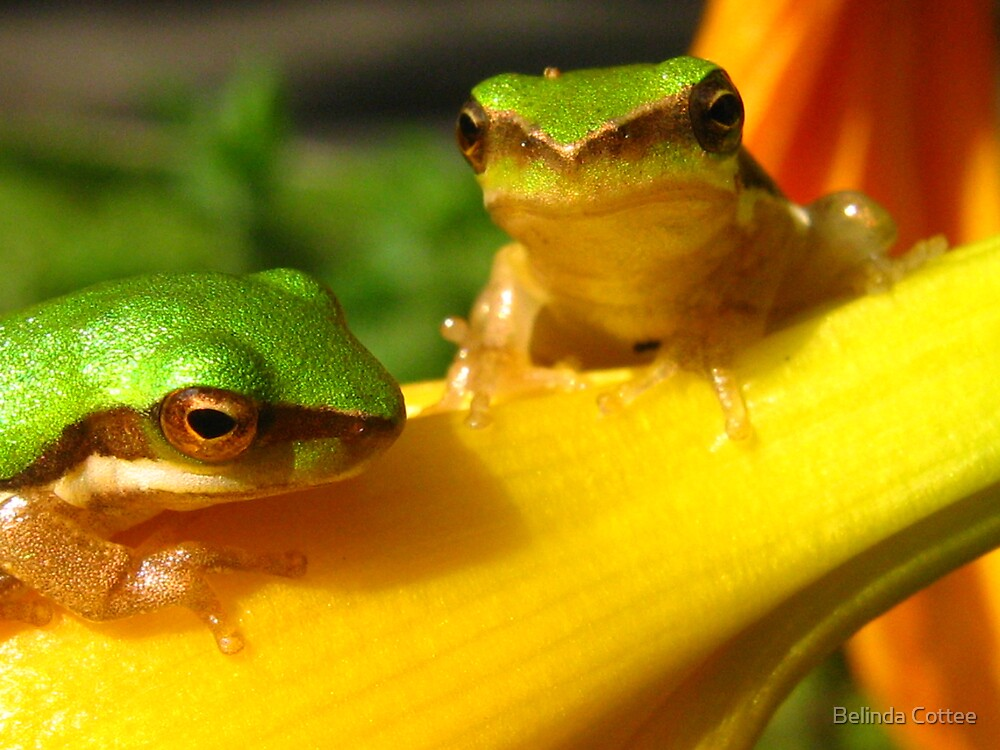 frogs by Belinda Cottee