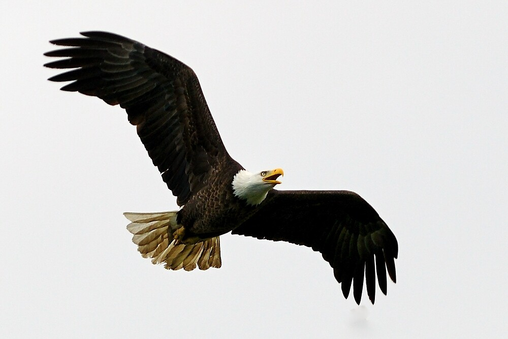Bald eagle in flight by PhotosbySylvia