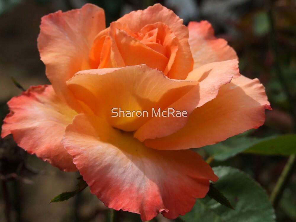 Shades of Orange by SharonD