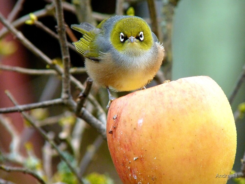 I Once Was Lost But Now I'm Found!! - Silvereye - NZ by AndreaEL