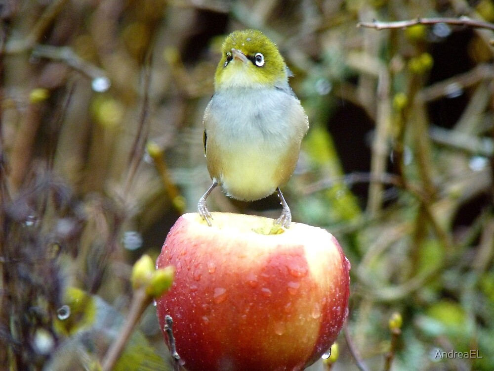 Geeez..It's Freeeezing Out Here!!! - Silvereye - NZ by AndreaEL