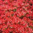 Red Azaleas by Kasia-D