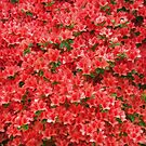 Red Azaleas by Kasia-D