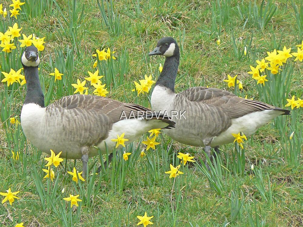 Canadas And Daffodils by AARDVARK