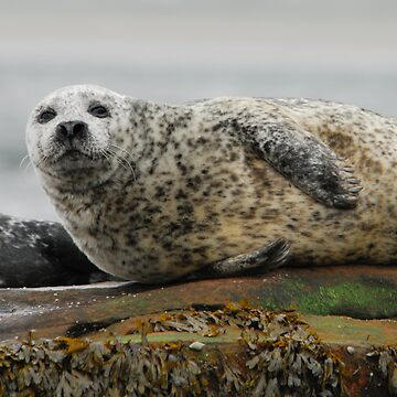 Common Seal at Rest by TheDabber