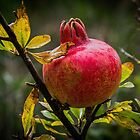 POMEGRANATE TREE Punica granatum Leith Park Victoria 20170412 1636  by Fred Mitchell