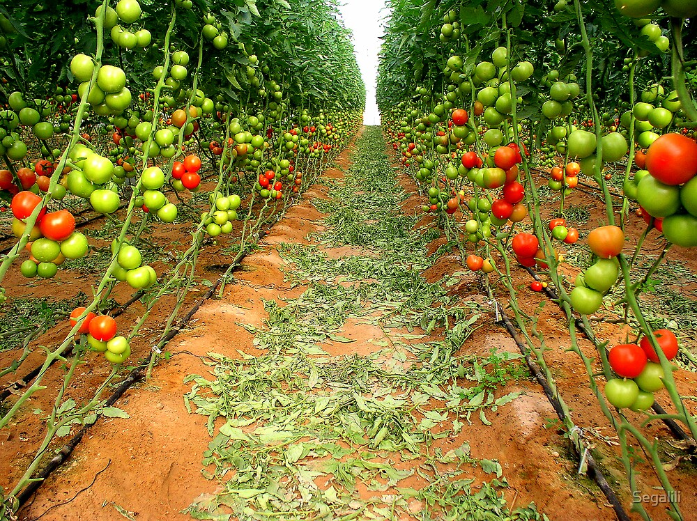 Homegrown Tomatoes by Segalili