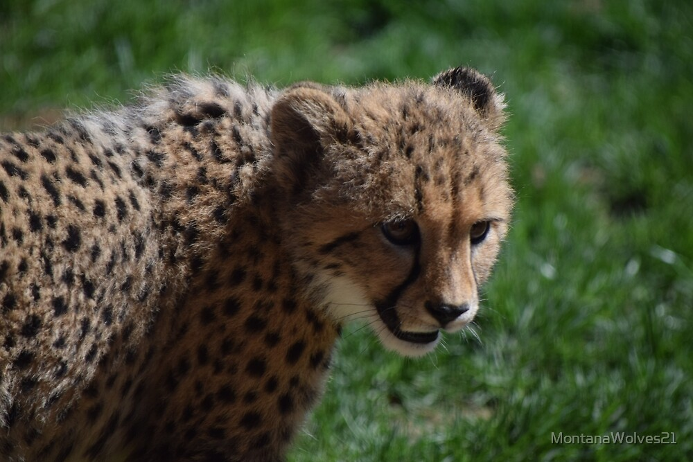 Baby Cheetah  by MontanaWolves21