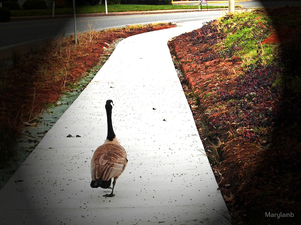 Canadian Goose Taking a walk by Marylamb