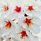 Sakura - Regentropfen von greenaomi