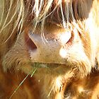 Highland Cow on Finnish Farm by M-EK