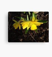 Miniature Daffodils Canvas Print