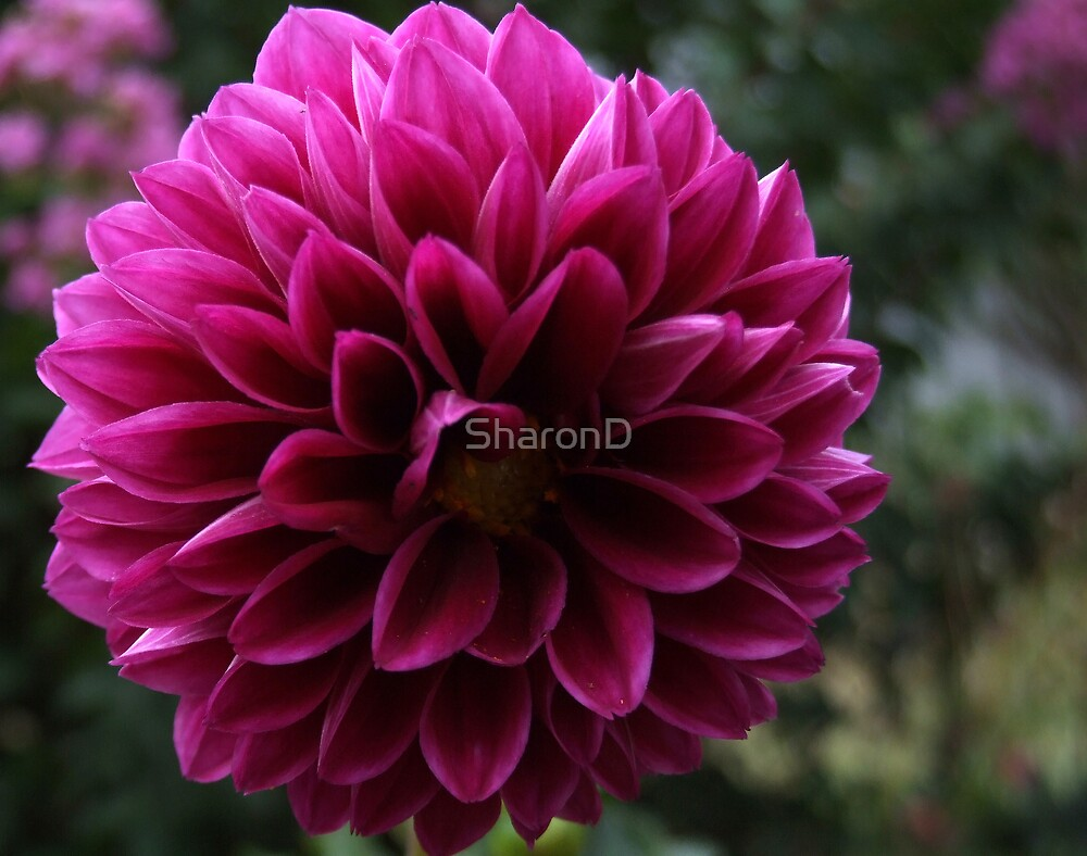 Simply Purple by SharonD