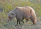 Denali Grizzly by Graeme  Hyde