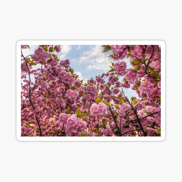 Sakura flower blossom in springtime Sticker